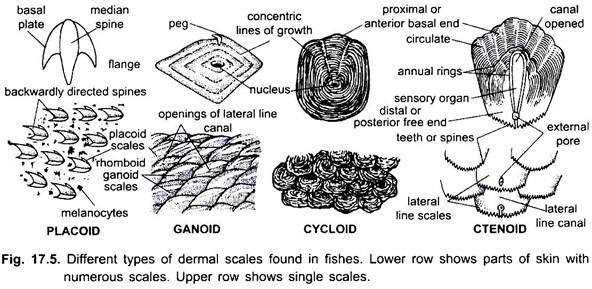 Scales of Fishes (With Diagram) | Vertebrates | Chordata