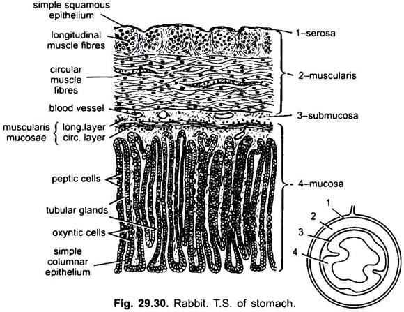 digestive system of rabbit  with diagram