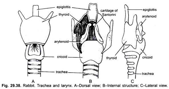 Trachea and Larynx